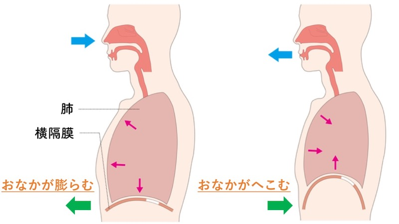 横隔膜とおなかの動き
