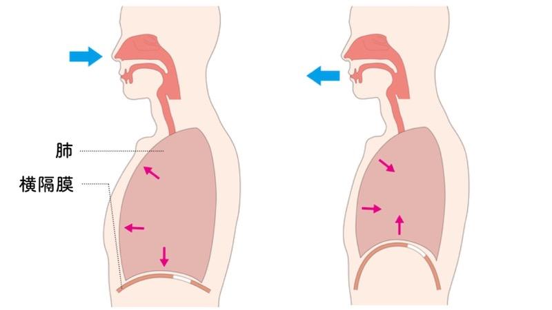 横隔膜の動き