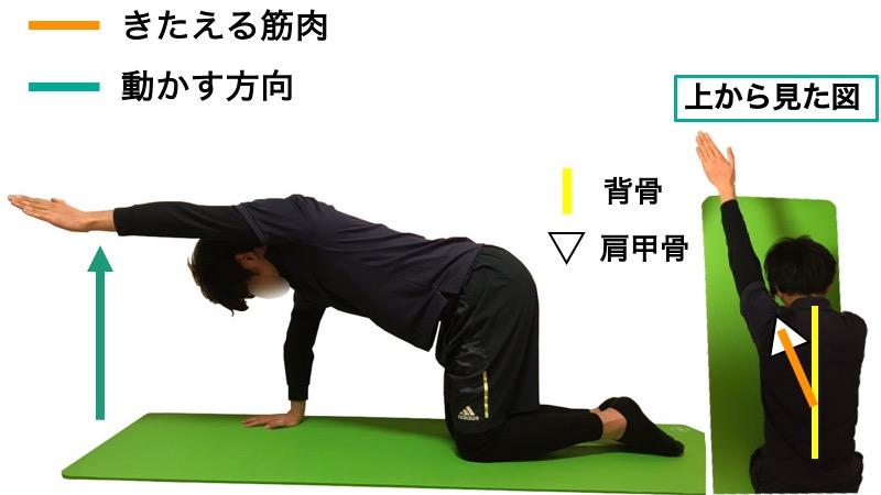 僧帽筋下部線維の筋力トレーニング