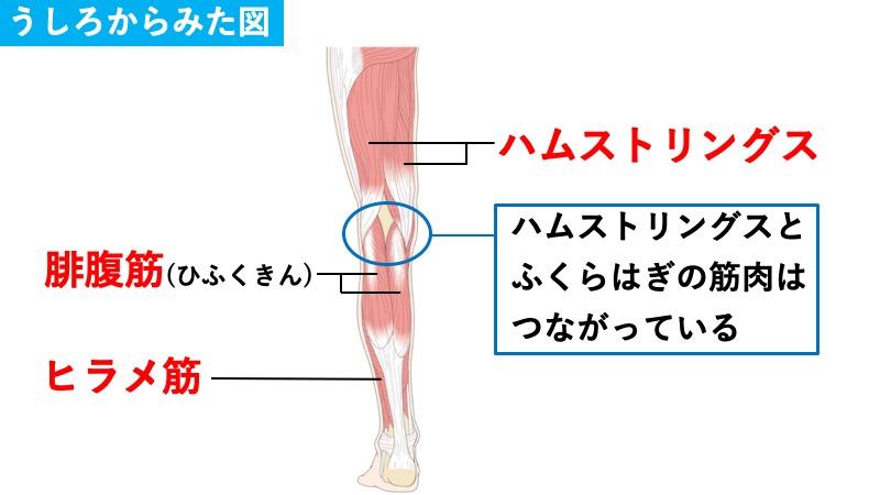 ふくらはぎの筋肉とハムストリングスの関係