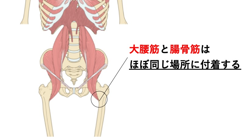 大腰筋と腸骨筋の停止部